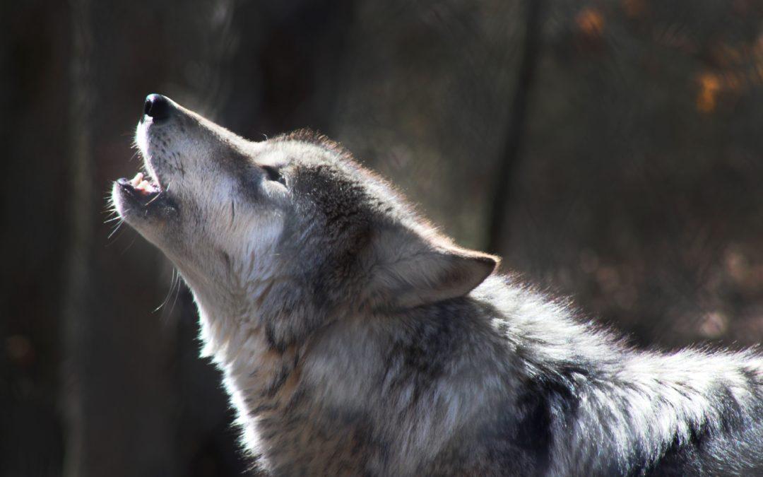 Mort aux loups et vie aux moutons!